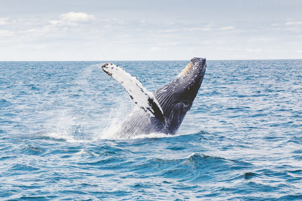 whale in Great Australia Bight ocean